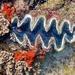 Tridacna elongatissima - Photo (c) scott_phares, todos los derechos reservados