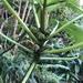 Touchardia latifolia - Photo (c) mykle hoban, כל הזכויות שמורות