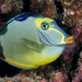 Pacific Orange-spine Unicornfish - Photo (c) David R, some rights reserved (CC BY-NC)