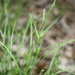 Carex oligocarpa - Photo (c) J. Kevin England, todos los derechos reservados