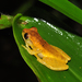 Dendropsophus werneri - Photo (c) pedroivosimoes, כל הזכויות שמורות