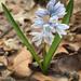 Puschkinia scilloides - Photo (c) deborahway7, todos los derechos reservados