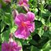 Lewis' Monkeyflower - Photo (c) mtncatt, all rights reserved