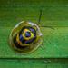 Ischnocodia annulus - Photo (c) Laurent Hesemans, todos los derechos reservados