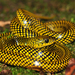 Coral Snake Mimics - Photo (c) pedroivosimoes, all rights reserved