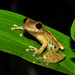 Tree Frogs and Allies - Photo (c) pedroivosimoes, all rights reserved