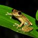 Ranas Arborícolas Y Parientes - Photo (c) pedroivosimoes, todos los derechos reservados