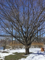 Image of Zelkova serrata
