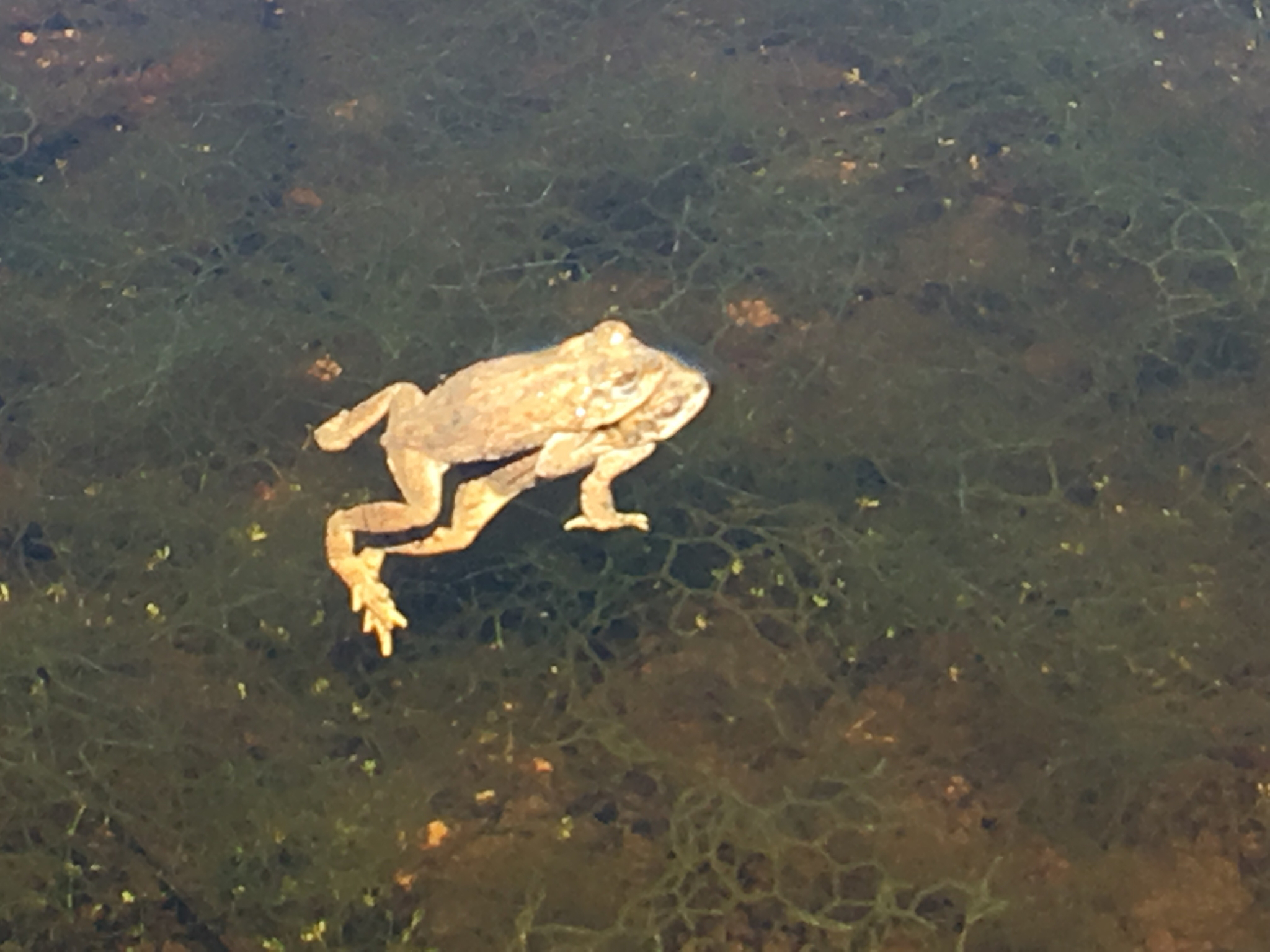 North american toads