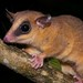 Robinson's Mouse Opossum - Photo (c) estebanalzate, all rights reserved, uploaded by Esteban Alzate Basto