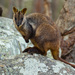 Brush-tailed Rock-Wallaby - Photo (c) Andrew Rock, all rights reserved