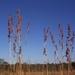 Lemon Grasses - Photo (c) Glynn Alard, all rights reserved