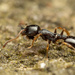 Long-spined Acorn Ant - Photo (c) Max McCarthy, some rights reserved (CC BY-NC)