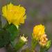 Opuntia austrina - Photo (c) Scott Simmons, todos los derechos reservados