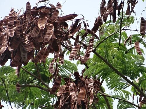 Senegalia polyphylla image
