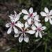 Burchardia umbellata - Photo (c) mtncatt, todos los derechos reservados
