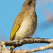 Brown Honeyeater - Photo (c) Andrew Rock, all rights reserved