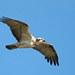 Eastern Osprey - Photo (c) Andrew Rock, all rights reserved