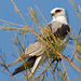 Black-shouldered Kite - Photo (c) Andrew Rock, all rights reserved