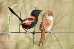 Red-backed Fairywren - Photo (c) Andrew Rock, all rights reserved