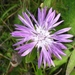 Brown Knapweed - Photo (c) Til Mann, all rights reserved