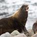 Northern Fur Seal - Photo (c) Sergei Drovetski, all rights reserved