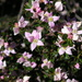 Alpine Boronia - Photo (c) mtncatt, all rights reserved
