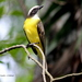 Social Flycatcher - Photo (c) Rolando Chavez, all rights reserved