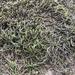 Dwarf Anomodon Moss - Photo (c) gemmaerul, all rights reserved