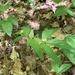 Viola tripartita tripartita - Photo (c) Zaqri, todos los derechos reservados