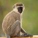 Vervet Monkey - Photo (c) Jes Lefcourt, all rights reserved