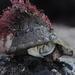 Vetigastropod Snails - Photo (c) tengumaster89, all rights reserved