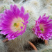 Echinocereus delaetii - Photo (c) Leonora Enking, some rights reserved (CC BY-SA)
