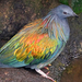 Nicobar Pigeon - Photo (c) Jean-Pierre Dalbéra, some rights reserved (CC BY)