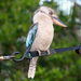 Blue-winged Kookaburra - Photo (c) Jo Duncan, all rights reserved