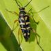 Zebra Longhorn Beetle - Photo (c) Karen Chiasson, all rights reserved