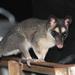 Metsäopossumi - Photo (c) mob-critters, kaikki oikeudet pidätetään