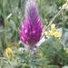 Trifolium purpureum - Photo (c) הילה לוטן, todos los derechos reservados