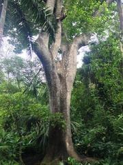 Anacardium excelsum image