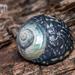 Trochidae - Photo (c) Danilo Hegg, כל הזכויות שמורות