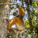 Diademed Sifaka - Photo (c) Matthias Markolf, all rights reserved