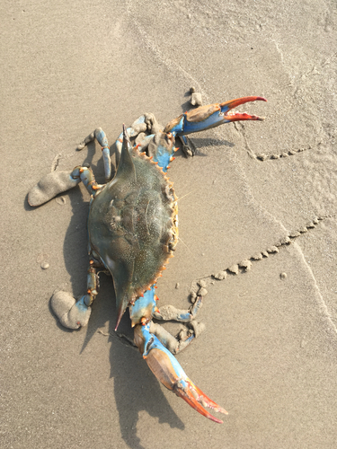 "a description of the blue crab the beautiful savory swimmer Organism physiology paper organism physiology paper university of latin for ""beautiful savory swimmer"" the blue crab plays an intricate role in our."