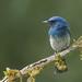 Cyornis pallidipes - Photo (c) DCP Expeditions, todos los derechos reservados