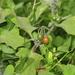 Solanum villosum - Photo (c) Salvo, todos los derechos reservados