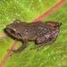 Pristimantis tungurahua - Photo (c) marcomreyes, todos los derechos reservados, uploaded by Marco M. Reyes