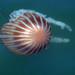 Medusa Boca de Bandera - Photo (c) ritasouza, todos los derechos reservados