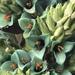 Puya alpestris zoellneri - Photo (c) Eric Rojas Abarca, todos los derechos reservados