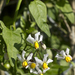 Texas Nightshade - Photo (c) Layla, all rights reserved, uploaded by Layla Dishman