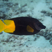 Rabbitfishes - Photo (c) David R, some rights reserved (CC BY-NC)