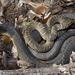 Blotched Water Snake - Photo (c) David Barker, all rights reserved
